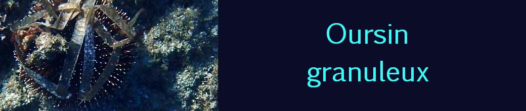 oursin granuleux