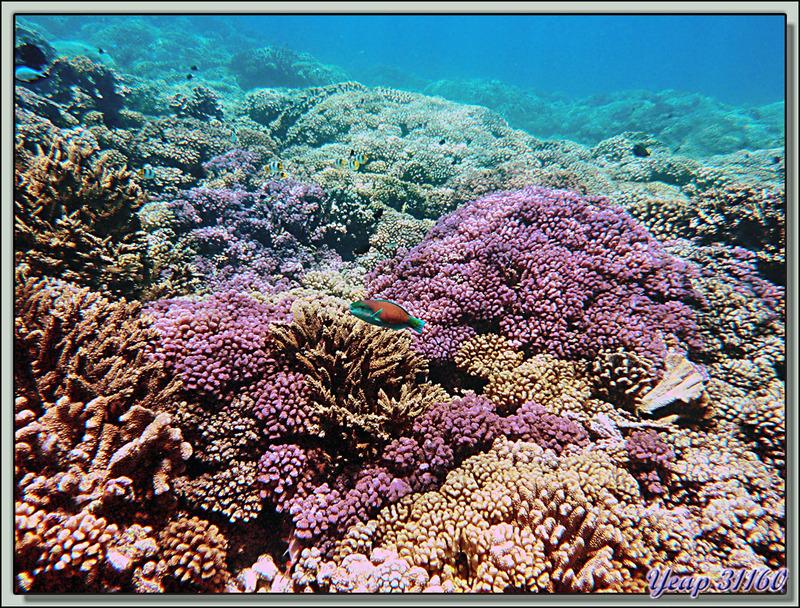 Plongée bouteille Passe Tumakohua : Poisson-perroquet et coraux roses - Atoll de Fakarava - Tuamotu - Polynésie française