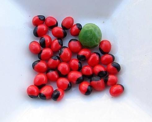 pois rouge plante
