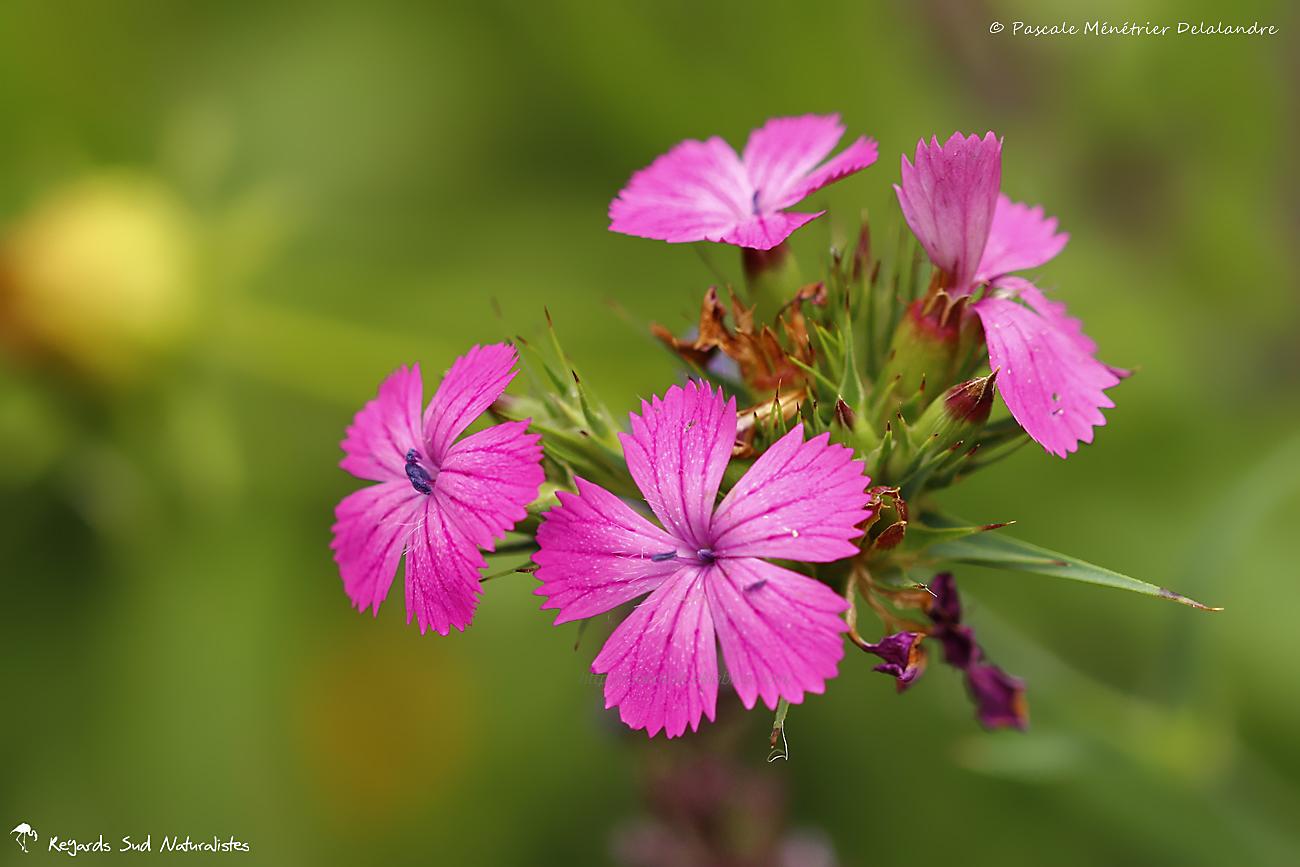 Oeillet des Chartreux - Dianthus carthusianorum L.