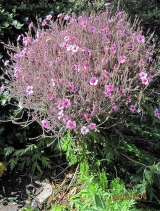 geranium de Madeire