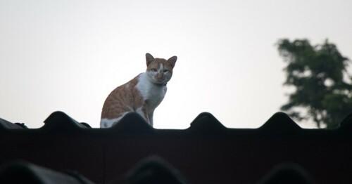 Un chat coincé sur un toit durant 13 jours