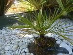 Jubaea chilensis n°2 - année 2014 et 2015