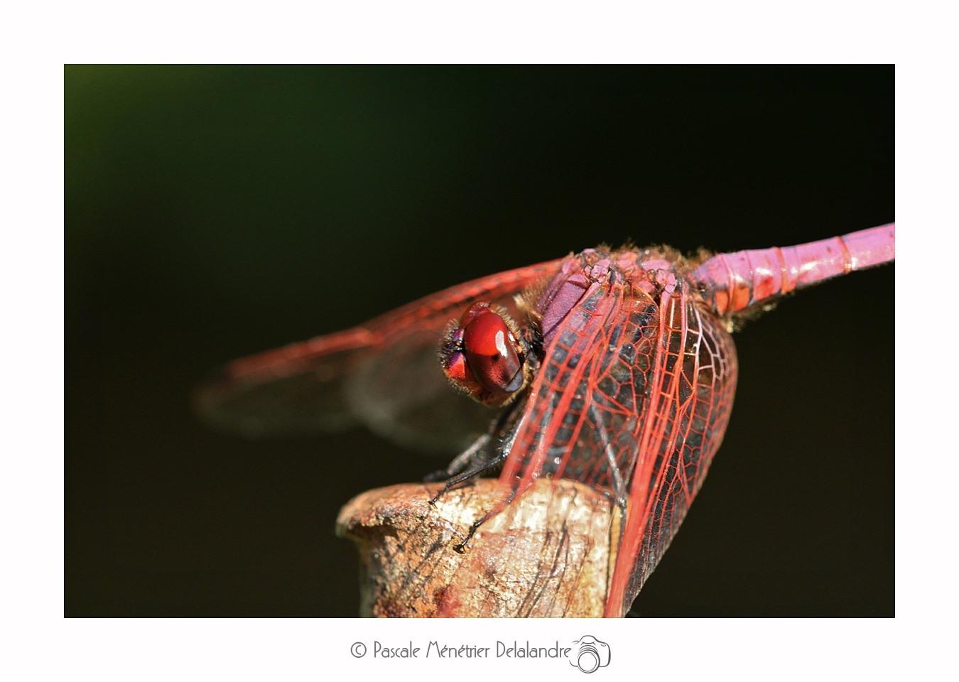 Trithémis pourpré ♂ -  Trithemis annulata