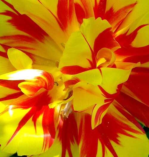 Comment le coeur d'une tulipe peut devenir tableau !