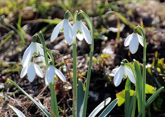 """1- Fleur, Perce Neige, Galanthus, Vert Blanc, Printemps.- § Perce neige: Sous la dénomination """"Perce-neige"""",ont longtemps été confondues 2 espèces de plantes appartenant à 2 genres différents: le Perce-neige et la Nivéole printanière, jusqu'à ce que Linné les place dans 2 genres distincts Galanthus nivalis et Leucojeum verneum L. 1753."""
