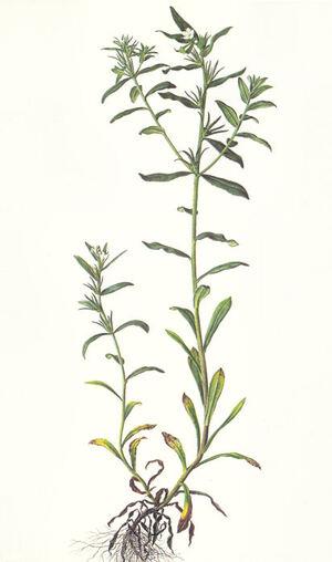 Buglossoides arvensis  -  grémil des champs