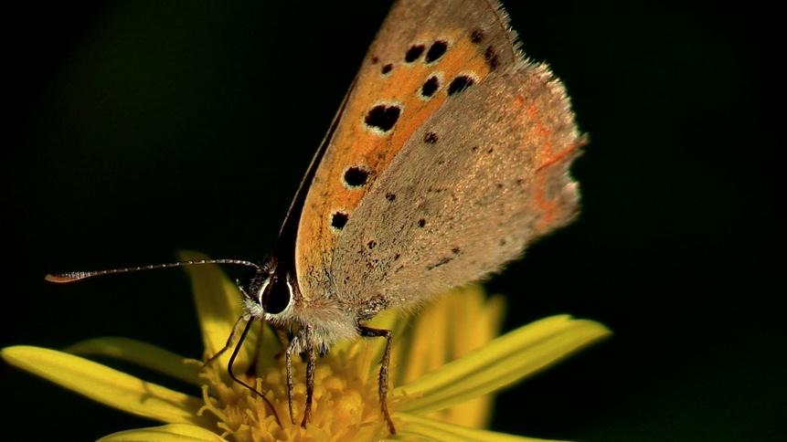 Les Lycaenidae cuivré
