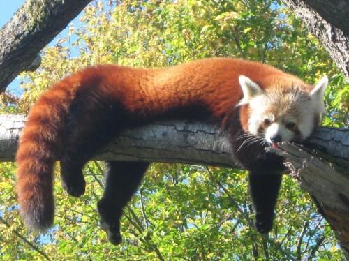 mars le mignon panda roux love les animaux. Black Bedroom Furniture Sets. Home Design Ideas