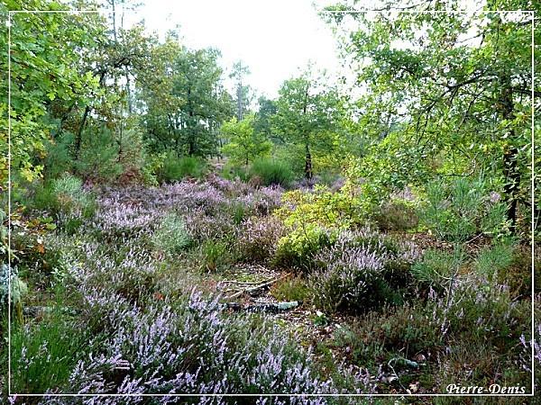 Forêt bruyère
