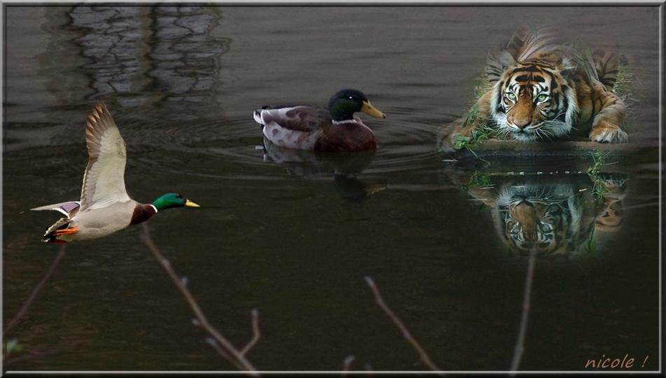 les canards  7 janvier