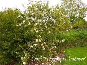 Camellia La Roche Jagu oct2010 008