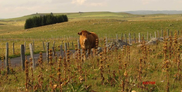 VACHES-AUBRAC--2--copie-1.JPG