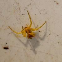 Thomisus sp Citrinellus ou Araignée Crabe Jaune
