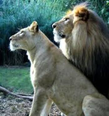 Le roi ..LION...!!!.