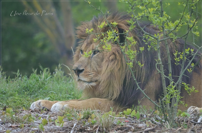 Parc Zoologique de Paris : Néro le lion d'Afrique