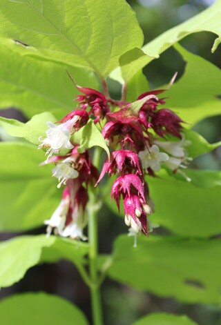 leycesteria formosa Golden lanterns