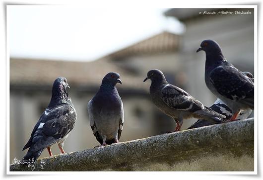 Nos Pigeons des villes