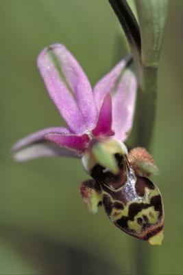 pollinisation
