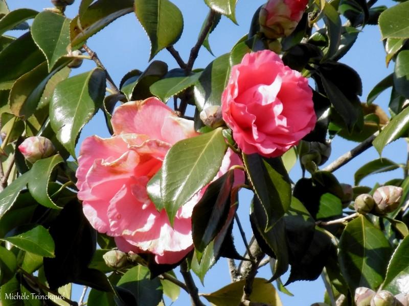 Une autre balade fleurie dans mon village, le 26 janvier...