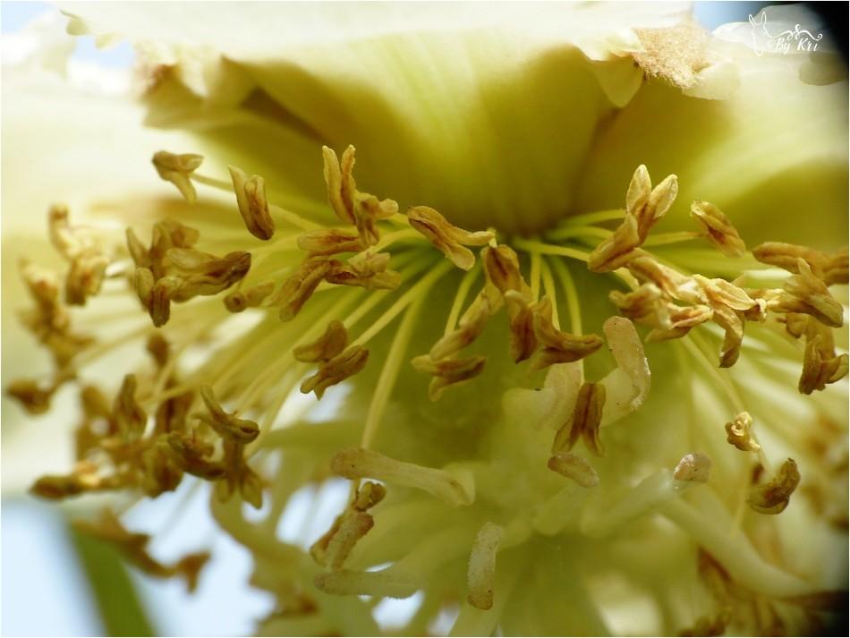 Fleurs de l'Actinidier ~ Arbre à Kiwis (Actinidia chinensis) ...