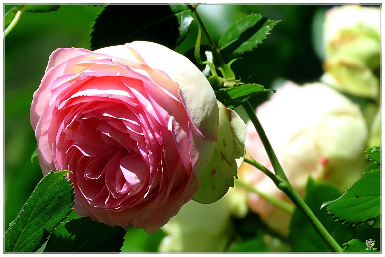 ENCORE DES ROSES POUR VOUS