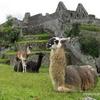 Machu Picchu - c'est aussi des lamas...