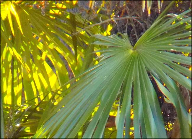 Palmier translucide