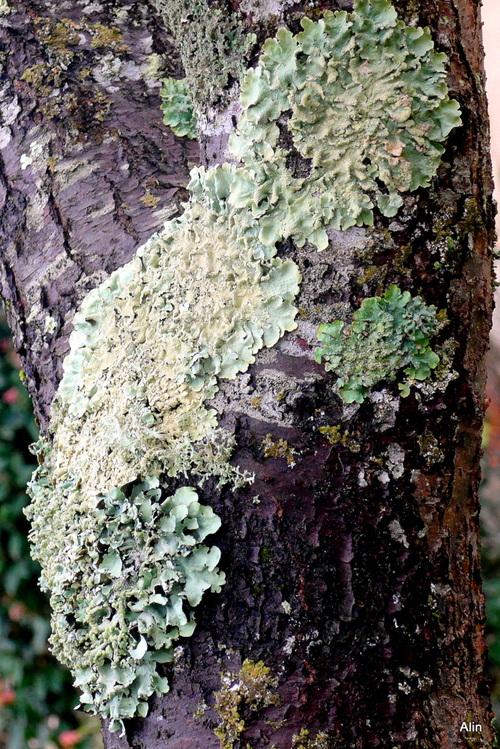 Du lichen sur les écorces des arbres