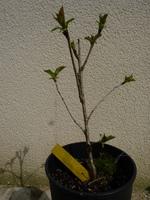 cerisier à fleurs n°1