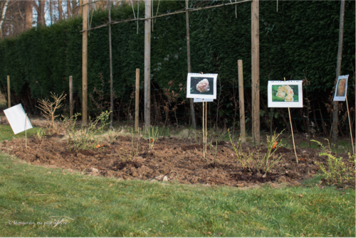 Projet 1 - Massif jaune : plantation rosiers