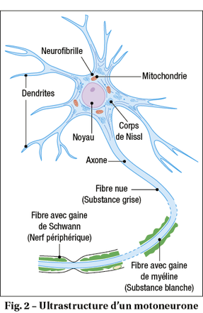 ultrastructure d'un motoneurone