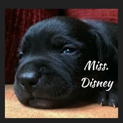 Commande de Miss.Disney