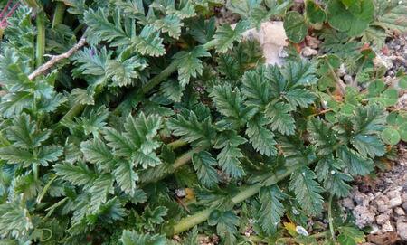 Erodium cicutarium - érodium à feuilles de ciguë - bec de grue