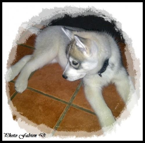Haska (2 mois)