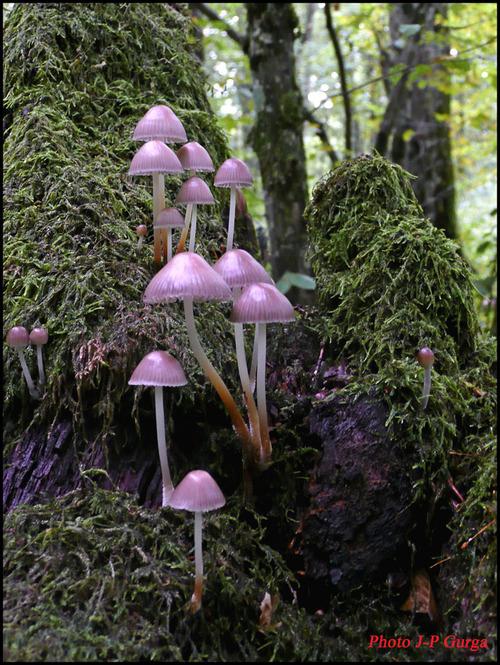 -Des champignons Châtillonnais vus par Jean-Pierre Gurga