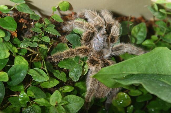 Val-de-Marne : 15 mygales saisies dans un appartement de Champigny-sur-Marne, un suspect en garde à vue