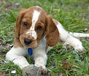 welsh-springer-spaniel 02 b