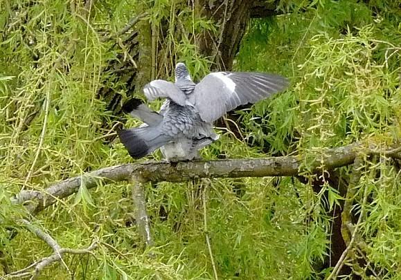 pigeons7.JPG