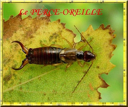 perce_oreille_04.jpg