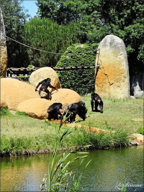 Photo de Chimpanzés du Zoo de la Palmyre
