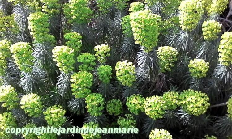 les camélias finissent  leurs floraison,les prunus sauvages dans leurs habits du printemps