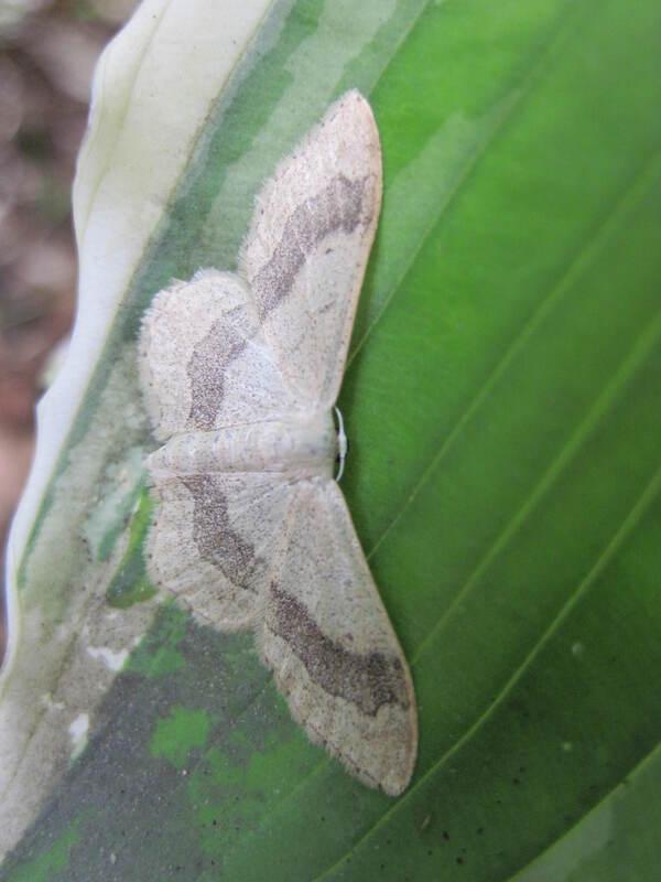 Papillon de nuit blanc grisé Idaea aversata