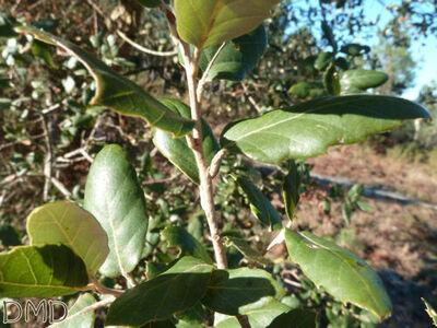 Quercus suber - chêne liège