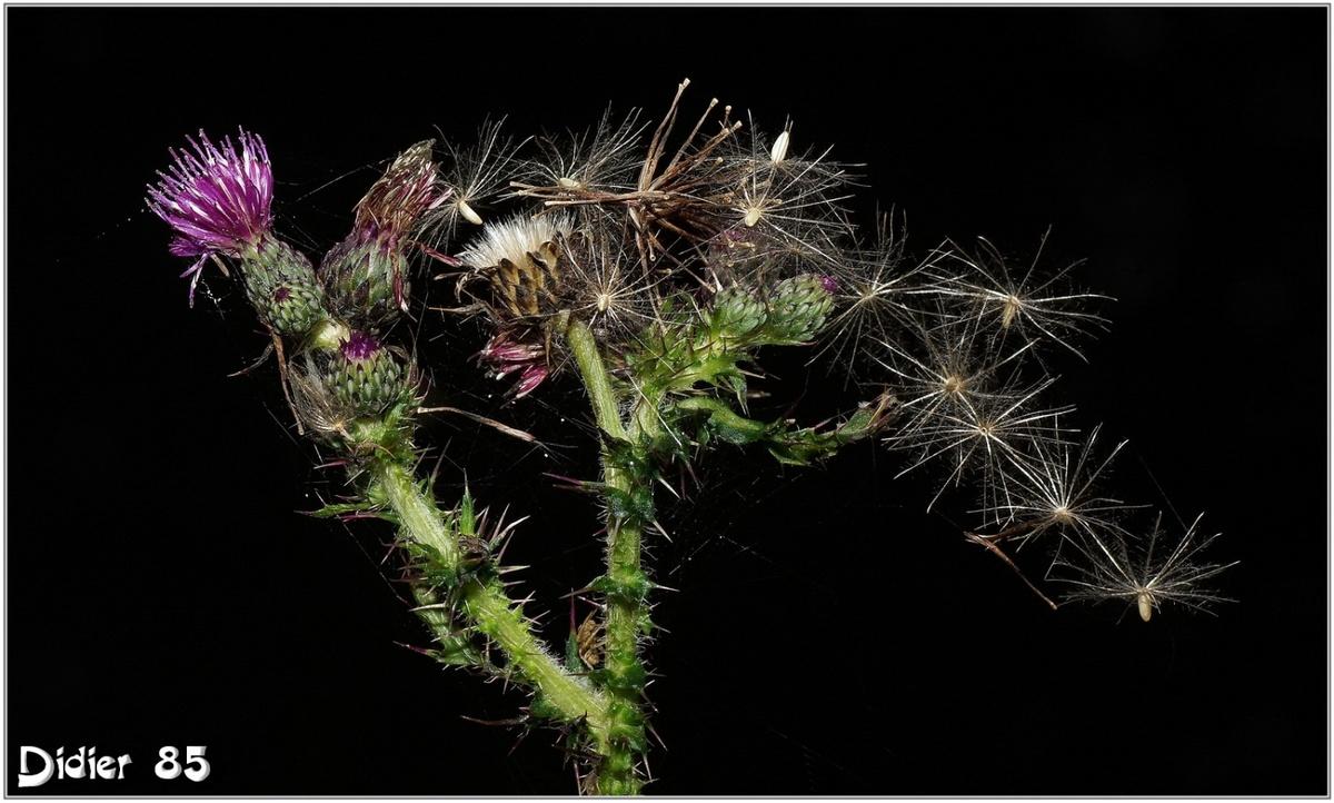 Cirse des Marais (1) - Cirsium palustre