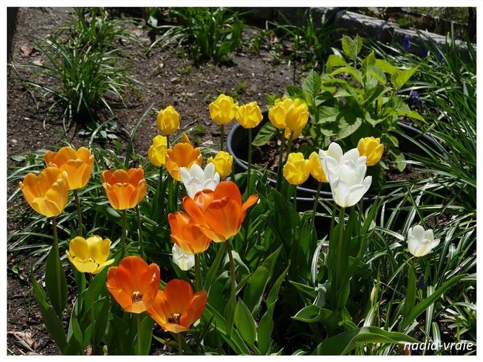 Les tulipes à la maison.