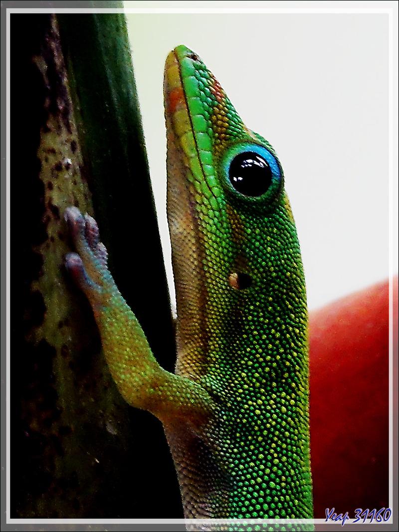 Gecko de jour poussière d'or, Gold Dust Day Gecko (Phelsuma laticauda) - Nosy Sakatia - Madagascar