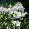 fleurs-blanches-38.jpg