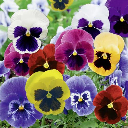 Fleurs cultivées : Pensée