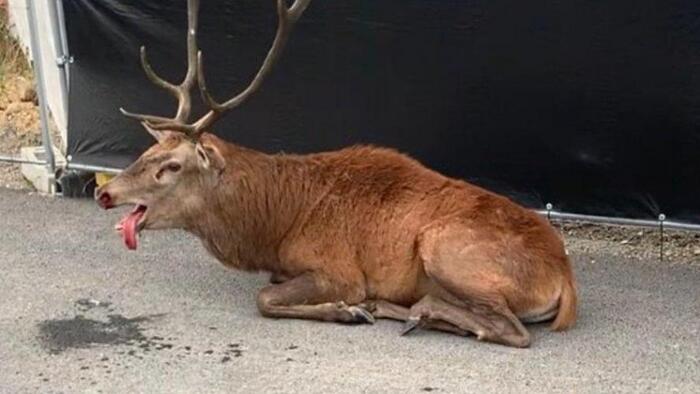 Oise : un cerf traqué lors d'une chasse à courre se réfugie dans le centre-ville de Compiègne